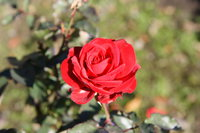 red rose in rose garden
