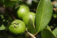 view--sapporo botanic garden - psidium cattleianum var lucidum - the green lemon