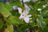 begonia - richmondensis