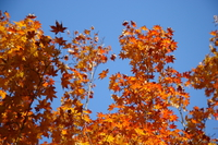 view--orange maple leaves