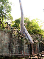 view--elephant tree in preah khan Siem Reap, South East Asia, Cambodia, Asia