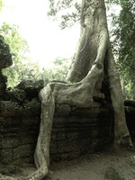 buddha tree Siem Reap, South East Asia, Cambodia, Asia