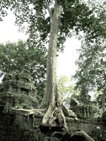 view--spung tree Siem Reap, South East Asia, Cambodia, Asia
