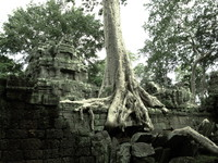 view--ancient roots Siem Reap, South East Asia, Cambodia, Asia