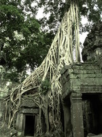strangler fig trees Siem Reap, South East Asia, Cambodia, Asia