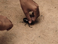 stag beetle fight Siem reap, South East Asia, Cambodia, Asia