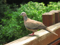 soldier pigeon Hong Kong, Thailand, SAR, South East Asia, China, Thailand, Asia