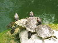 20080922121736_stack_of_turtles