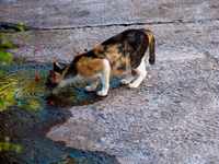 cat drinking Luang Prabang, Vientiane, South East Asia, Laos, Asia