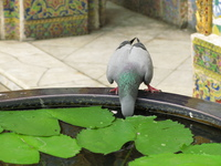 view--pigeon drinking from temple water Bangkok, South East Asia, Thailand, Asia