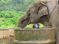 elephant drinking Chiang Mai, South East Asia, Thailand, Asia