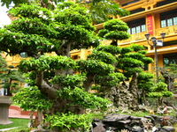 largest bonsai Hanoi, South East Asia, Vietnam, Asia