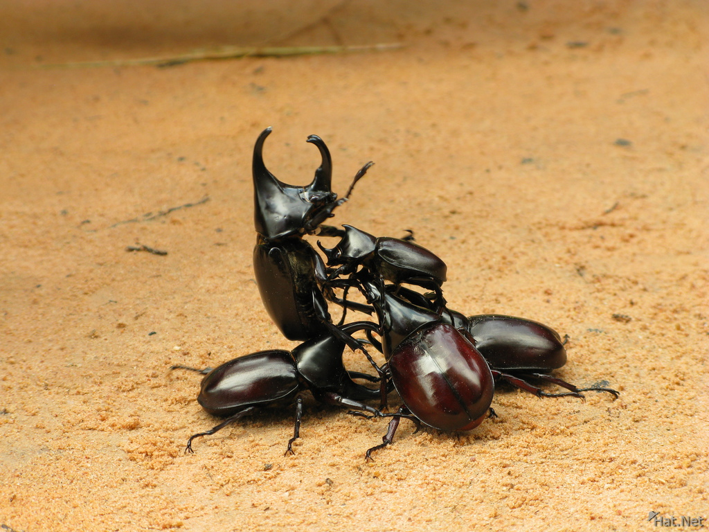 view--stag beetle death match