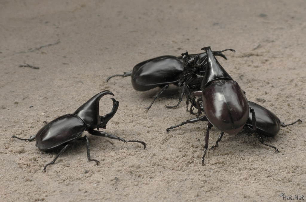 stag beetle fight