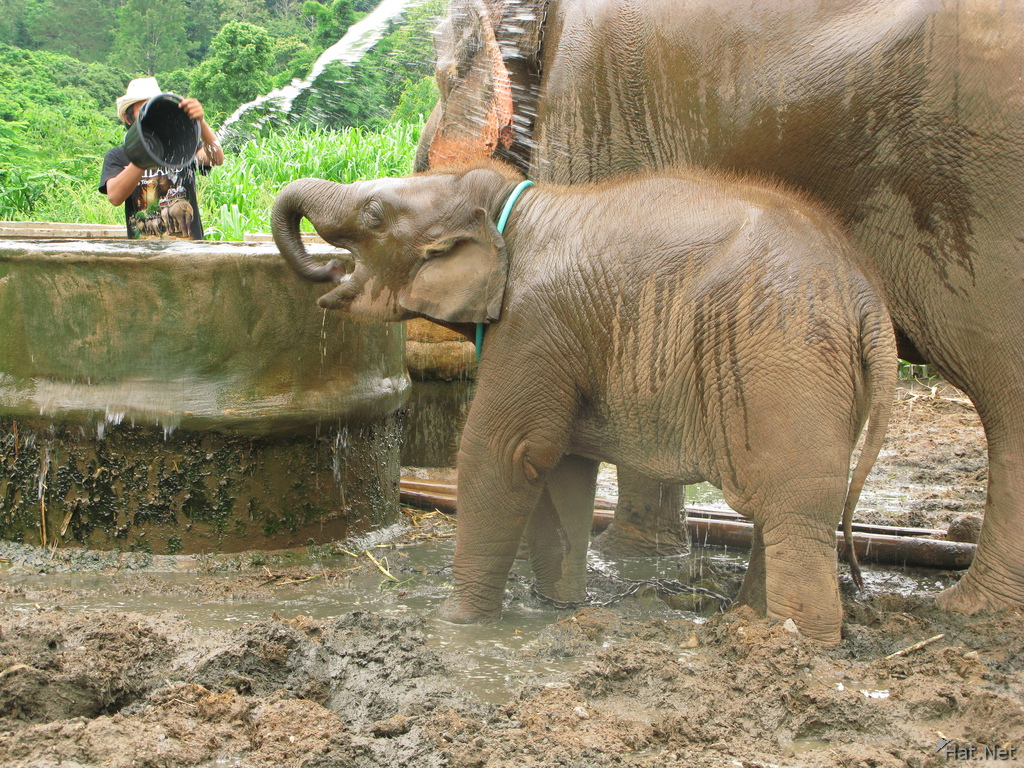 mother and baby elephants in chiang mai