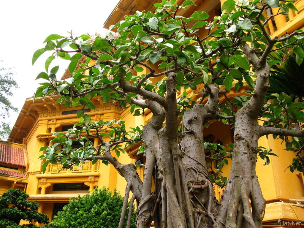 Ginseng Tree Bonsai Exhibition Indo China