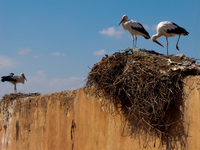 view--storks on audience pavilion Marrakech, Imperial City, Morocco, Africa