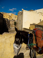 view--self feeding donkey Fez, Imperial City, Morocco, Africa