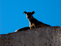 king of dogs Fez, Imperial City, Morocco, Africa