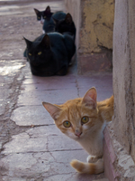 view--street cats Ouarzazate, Interior, Morocco, Africa