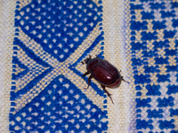 view--dung beetle on blue carpet Tinhir, Merzouga, Todra Gorge, Morocco, Africa