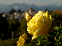 view--yellow rose of generalife Granada, Andalucia, Spain, Europe