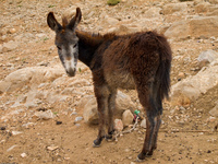 berber donkey Boumalne, Dades Valley, Morocco, Africa