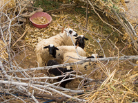 sheep home Boumalne, Dades Valley, Morocco, Africa