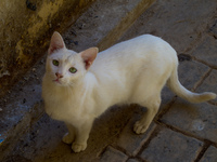 white cat staring Fez, Imperial City, Morocco, Africa
