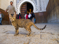tiger stripped cat watching in medina Fez, Imperial City, Morocco, Africa
