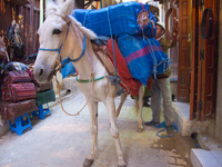 horse carrying blue packs Fez, Imperial City, Morocco, Africa