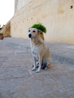 armoury guardian dog Fez, Imperial City, Morocco, Africa