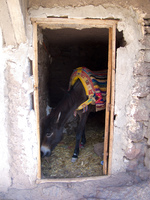 donkey in hut Marrakech, Atlas Mountains, Morocco, Africa
