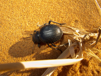 20101029153441_dung_bettle_struggling