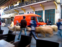 sheep moving festival Tangier, Mediterranean, Morocco, Africa