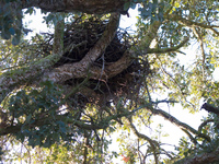 black kite nest El Rocio, Seville, Andalucia, Spain, Europe