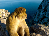 monkey on the rock Tangier, Algeciras, Gibraltar, Mediterranean Coast, Cadiz, Morocco, Spain, Gibraltar, Africa, Europe