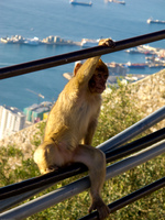 20101106164547_young_barbary_macaques