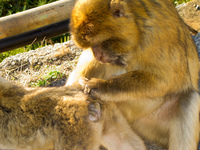 20101106164812_barbary_macaques_monkey