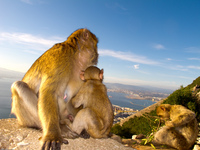 20101106164955_barbary_macaques