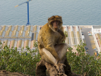 monkey at prince ferdinands battery Gibraltar, Algeciras, Cadiz, Andalucia, Spain, Europe