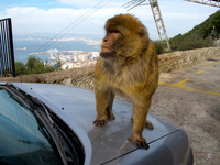 monkey hijacking car Gibraltar, Algeciras, Cadiz, Andalucia, Spain, Europe