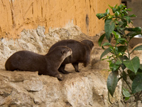 ferrets couple Gibraltar, Algeciras, Cadiz, Andalucia, Spain, Europe