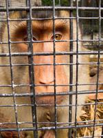 babery monkey in case Gibraltar, Algeciras, Cadiz, Andalucia, Spain, Europe