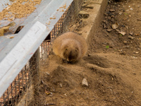 black tailed prairie dog Gibraltar, Algeciras, Cadiz, Andalucia, Spain, Europe