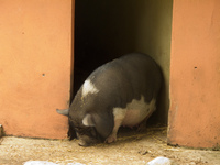 pot bellied pig Gibraltar, Algeciras, Cadiz, Andalucia, Spain, Europe