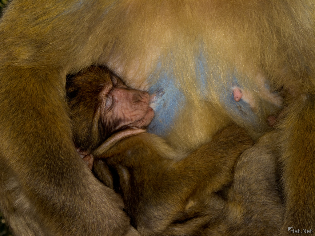 view--motherly love of barbary macaques