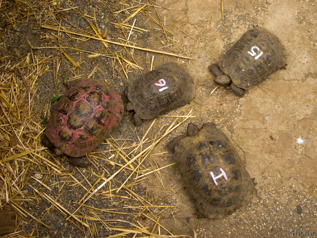 view--spur-thighed tortoise