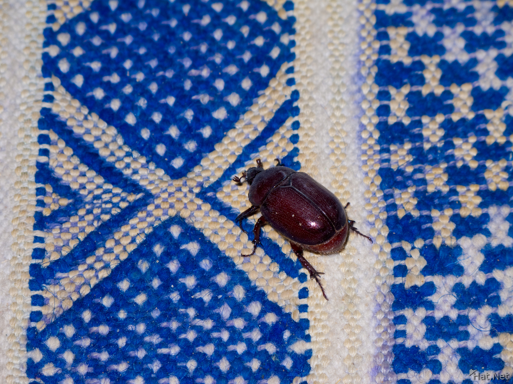 view--dung beetle on blue carpet