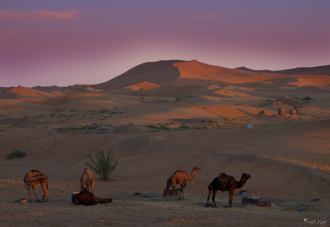 view--tired camels